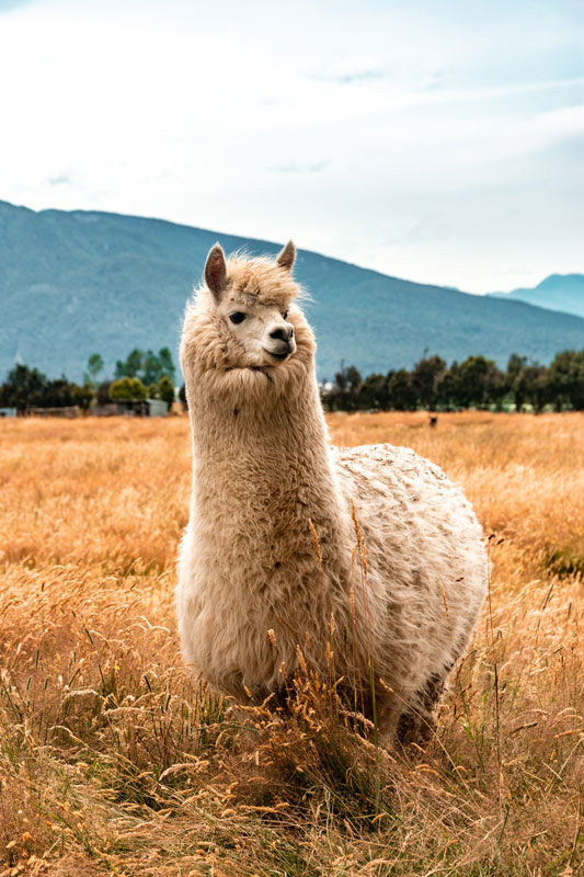 Glückliche Lamas in Peru